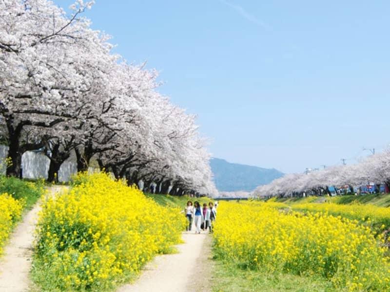 佐奈川提の桜_豊川市