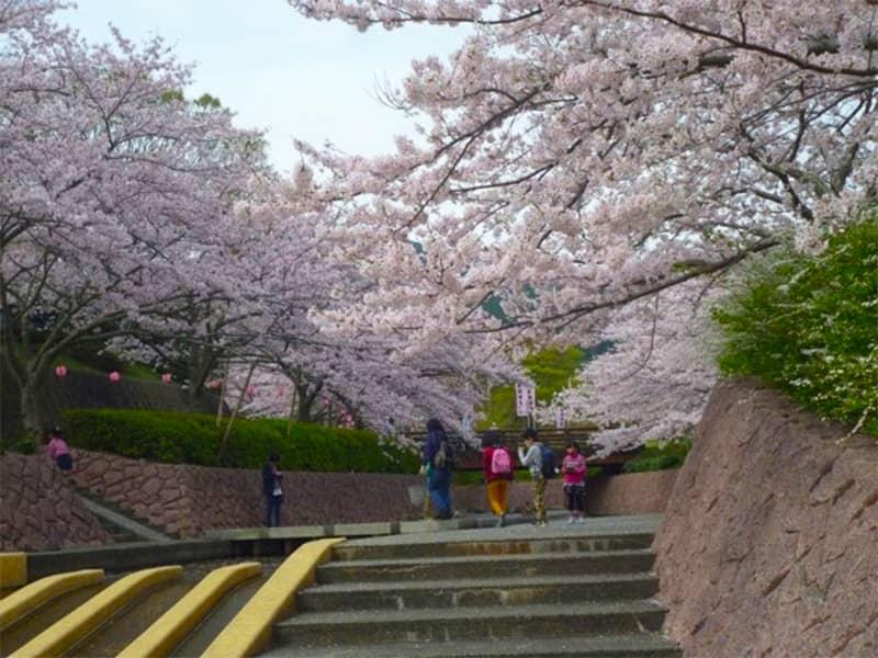 滝頭公園の桜_田原市