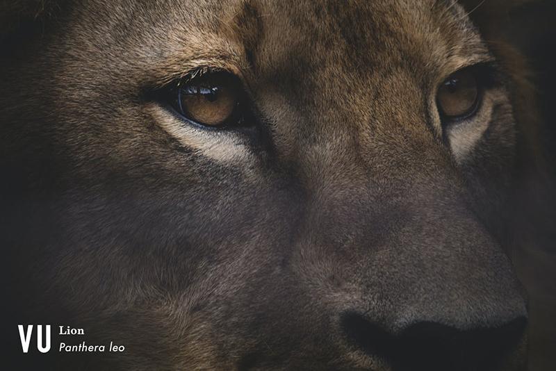 絶滅危惧種の百獣の王ライオン